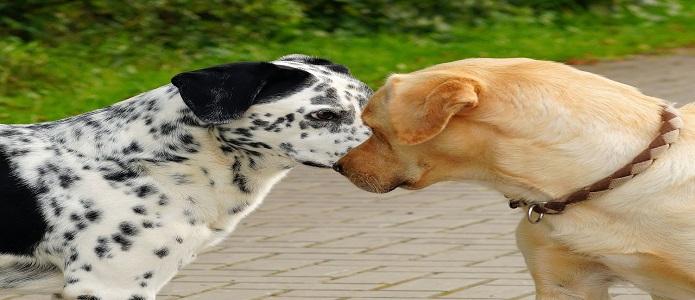 perros celosos